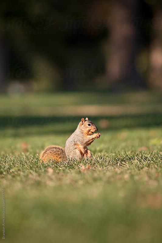 Eastern Fox Squirrel Eating by Brandon Alms for Stocksy United