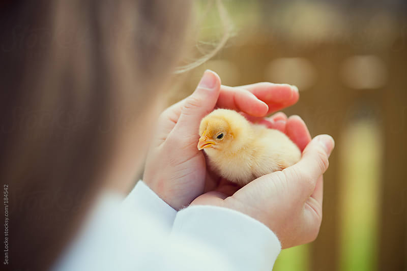 Chicks: Girl Holding A Chick In Her Hands by Sean Locke for Stocksy United