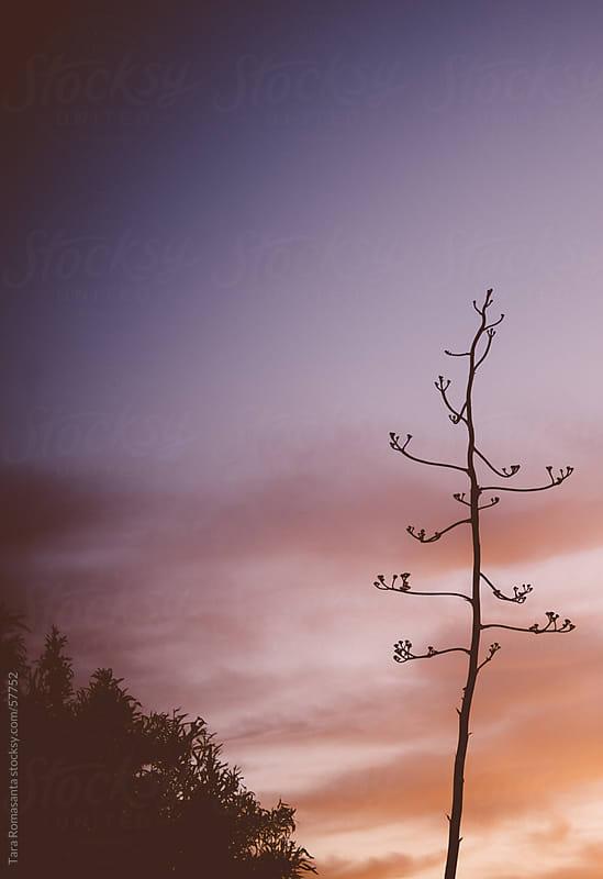 desert plant at sunset silhouette by Tara Romasanta for Stocksy United