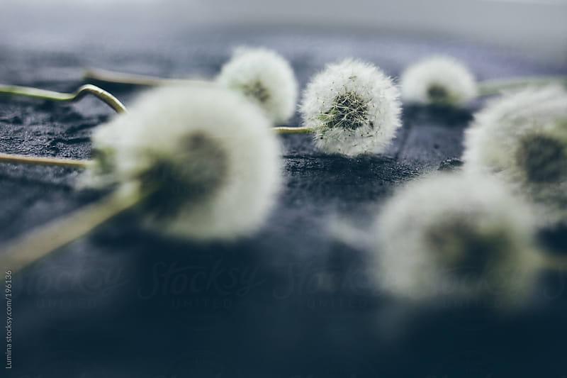 Dandelion Puff-Balls by Lumina for Stocksy United