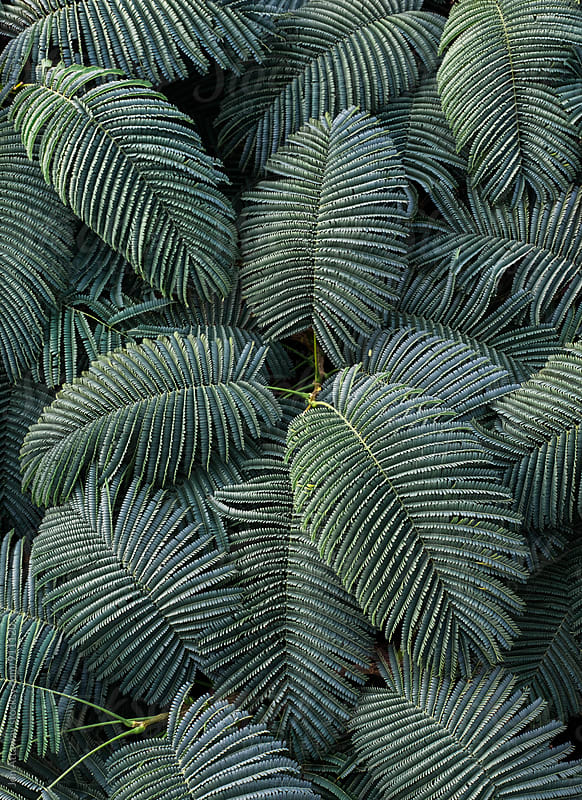Overhead shot of palm fronds packed together by Jon Attaway for Stocksy United