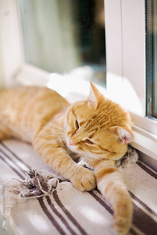 Sleepy red cat out of window by Laura Stolfi for Stocksy United