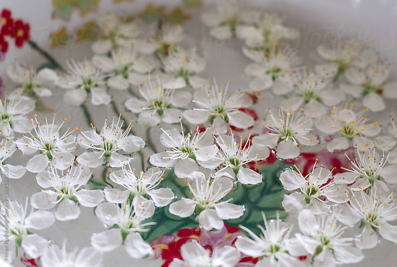 Blossom floating in a bowl of water by Helen Rushbrook for Stocksy United