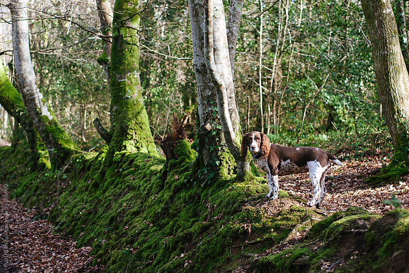 Dog standing in a forest by Suzi Marshall for Stocksy United
