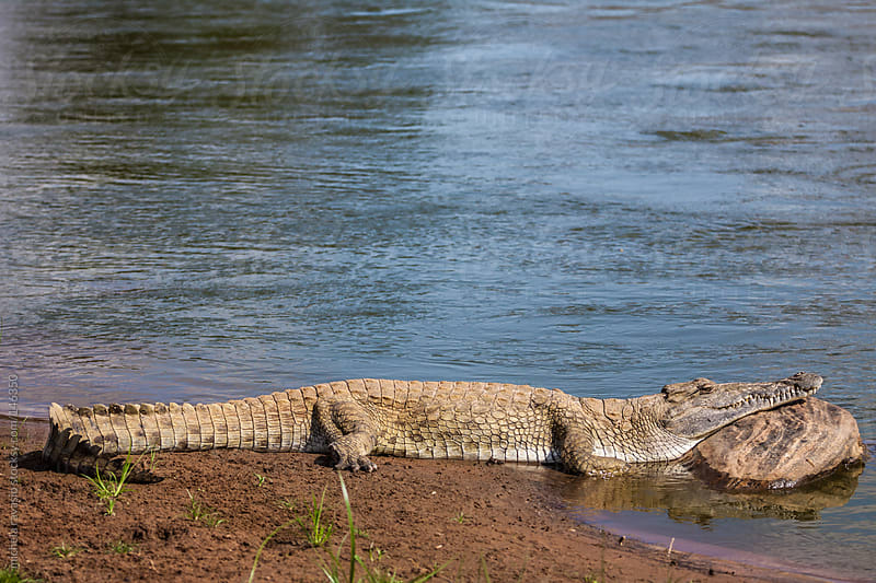Crocodile in the savannah by michela ravasio for Stocksy United