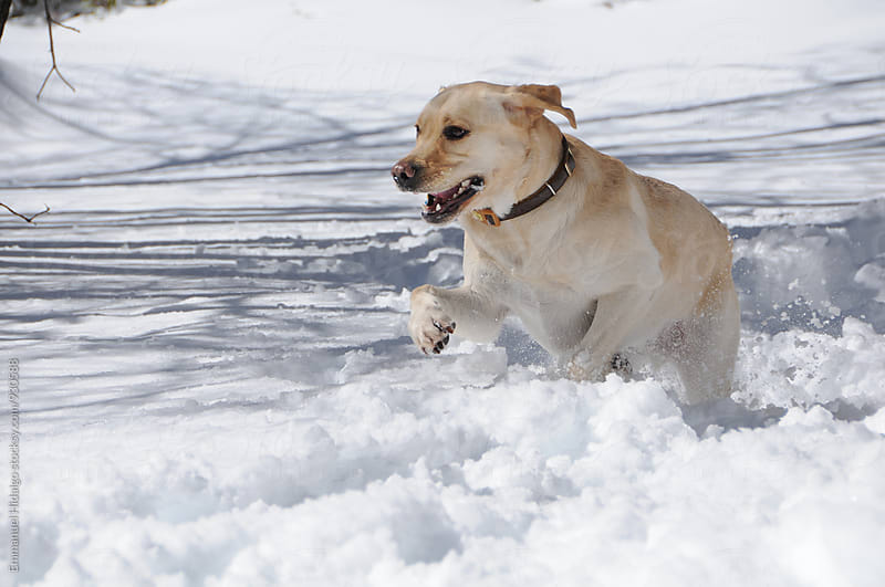 Labrador retriever enjoying some time in the snow by Emmanuel Hidalgo for Stocksy United