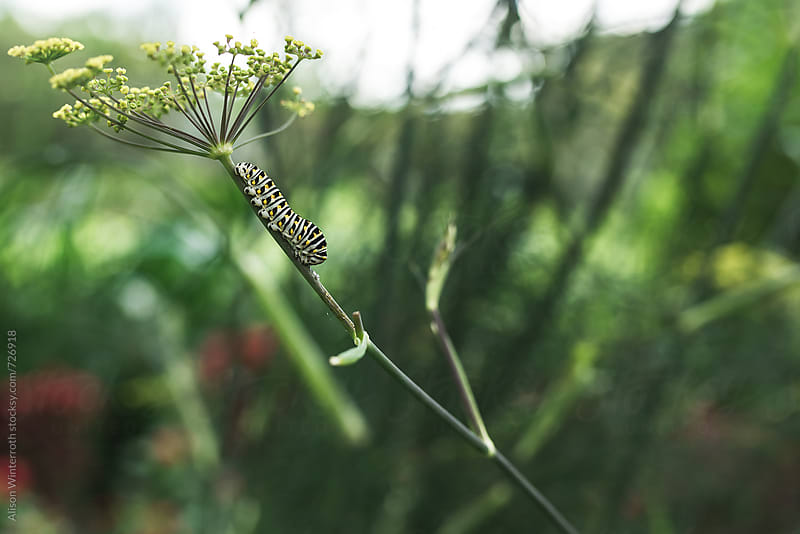 A Black Swallowtail Caterpillar On A Parsley Plant by Alison Winterroth for Stocksy United