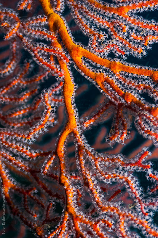 Orange sea fan coral on the reef underwater in Indonesia by Søren Egeberg Photography for Stocksy United