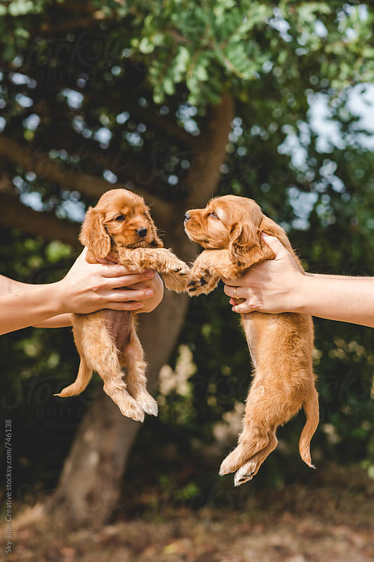 Two women holding a couple of Cocker Spaniel puppies by Luca Pierro for Stocksy United