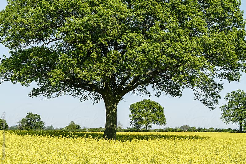 Oak tree in summer standing in rapeseed field by Paul Phillips for Stocksy United