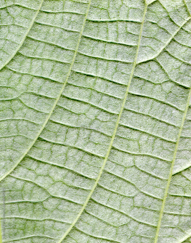 Hemp leafs surface at extreme close-up by Wenhai Tang for Stocksy United