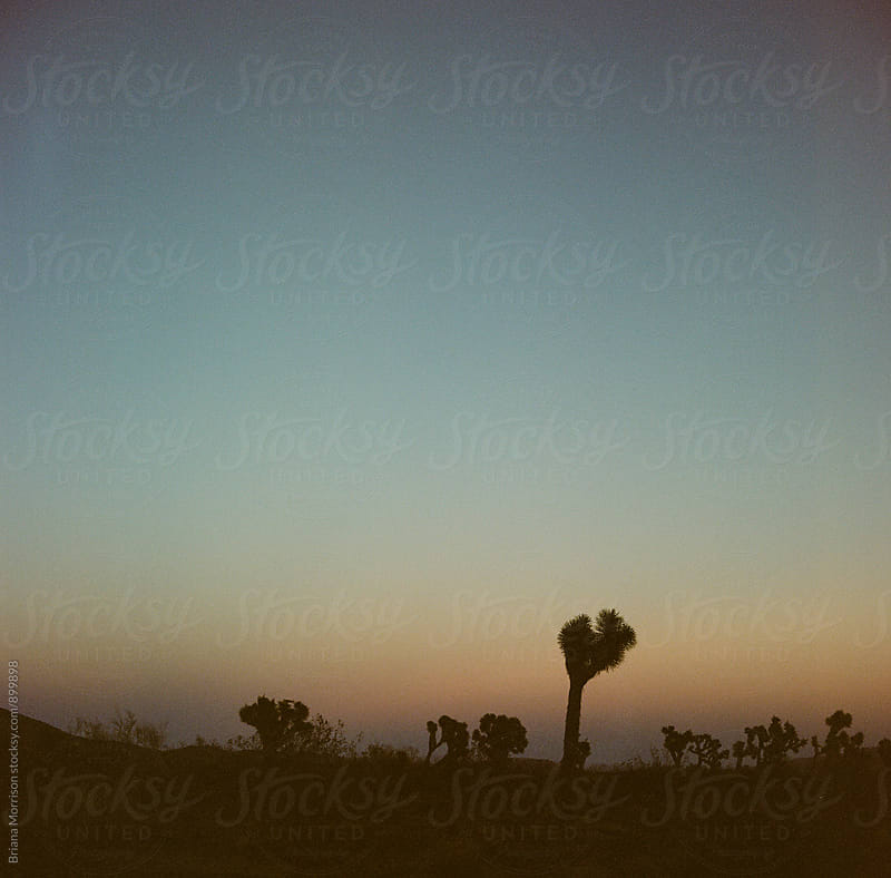 Joshua Trees in the Desert at Sunset by Briana Morrison for Stocksy United