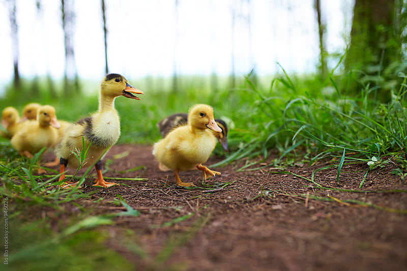 ducklings outdoor by Bo Bo for Stocksy United