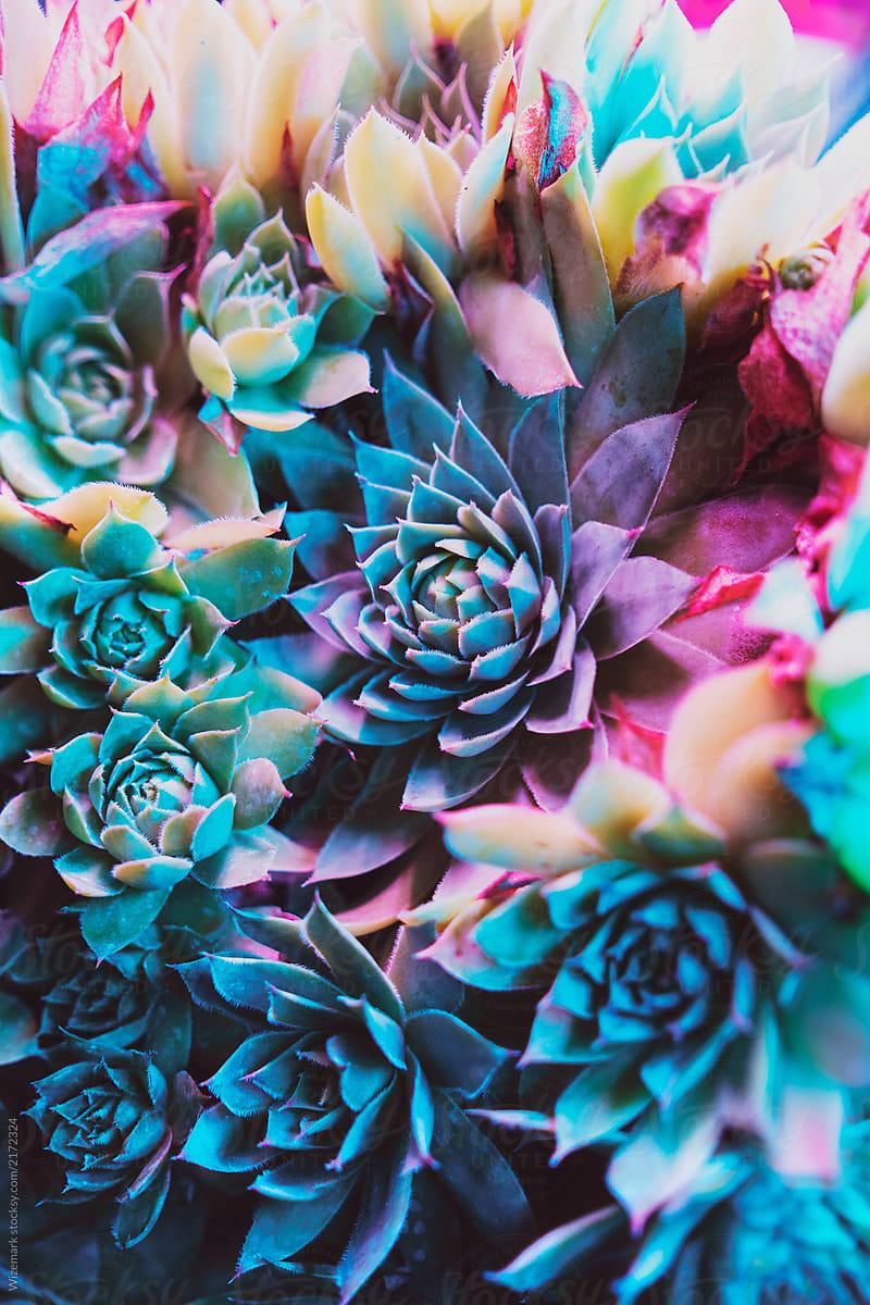 vibrant colorful succulent plants