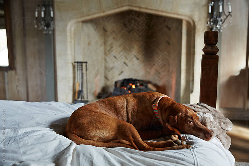 Dog relaxing on bed in luxury home by Trinette Reed for Stocksy United
