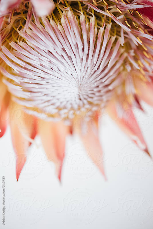 Protea on white background by Adrian Cotiga for Stocksy United
