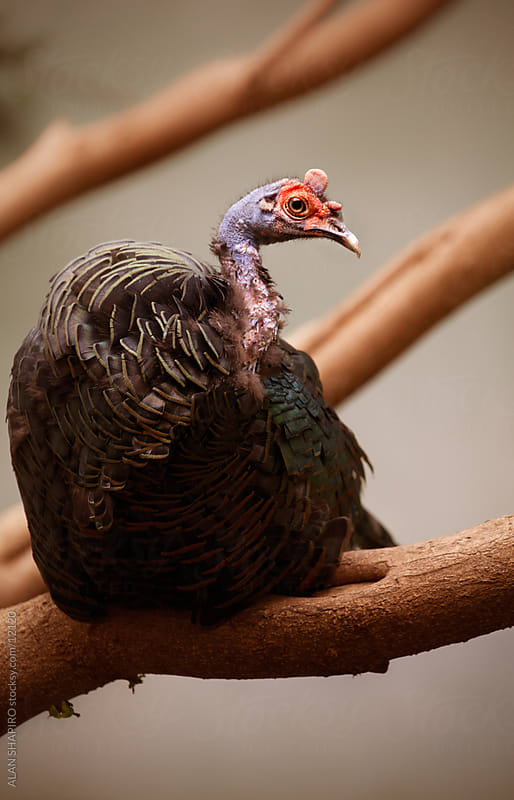 Occelated Turkey Roosting by alan shapiro for Stocksy United