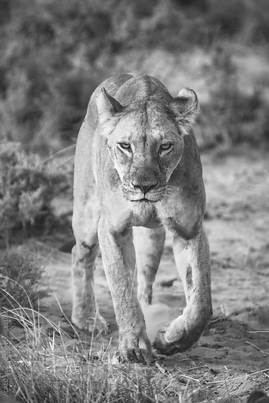 Lioness in black and white by ACALU Studio for Stocksy United