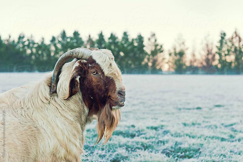 billy goat by Gillian Vann for Stocksy United