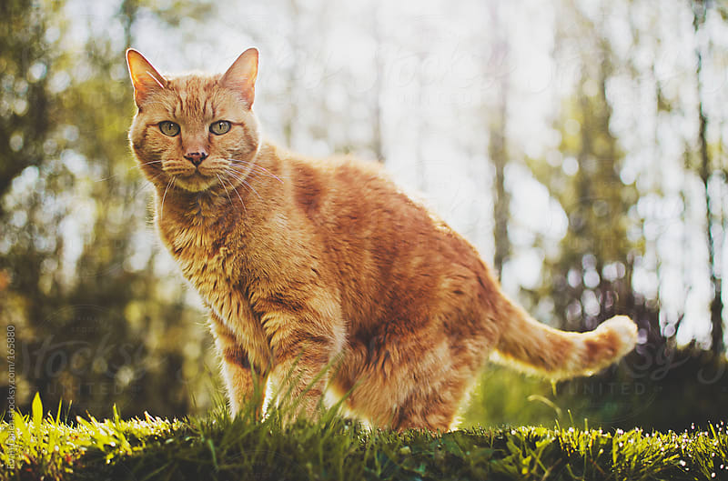 Yellow Orange Cat In Sunlit Grass by Evan Dalen for Stocksy United