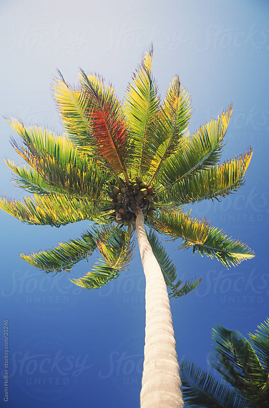 Tobaco Caye, Belize, Central America, Coconut palm (Cocos nucifera), low angle view by Gavin Hellier for Stocksy United