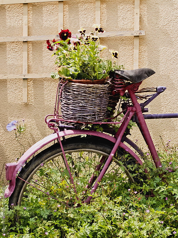 Old purple bicycle serving as a plant holder by Melanie Kintz for Stocksy United
