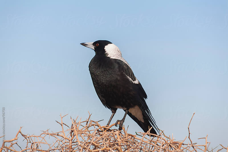 Australian magpie on a thorn perch by Ben Ryan for Stocksy United