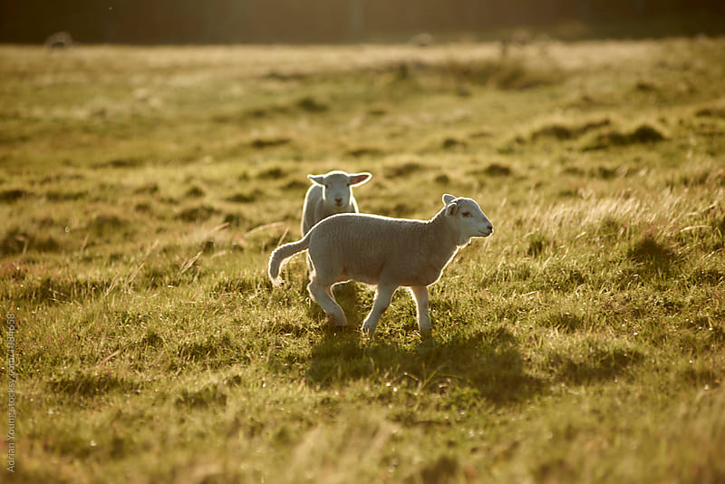 Lambs Playing In A Field by Adrian Young for Stocksy United