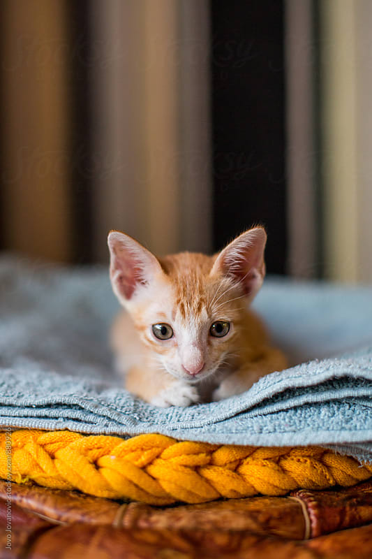 Cute orange kitten  by Jovo Jovanovic for Stocksy United