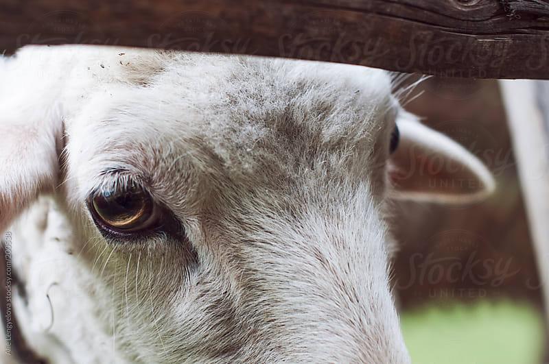 Hello Sheep by Alie Lengyelova for Stocksy United