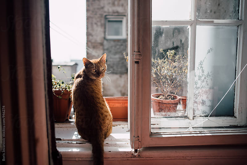 Domestic cat standing on the window by Boris Jovanovic for Stocksy United