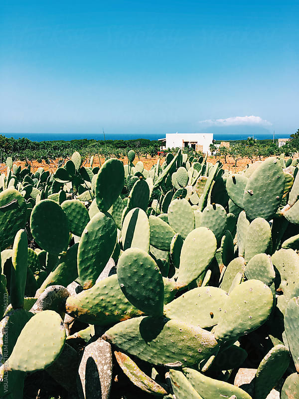 Many Indian Fig Cacti near Sicilian Shoreline on Sunny Day by Julien L. Balmer for Stocksy United