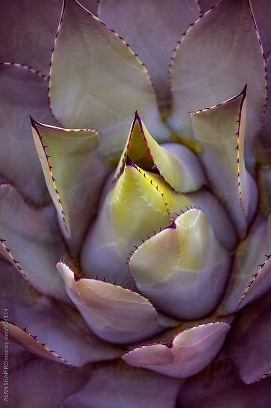 Thorny Succulent by ALAN SHAPIRO for Stocksy United