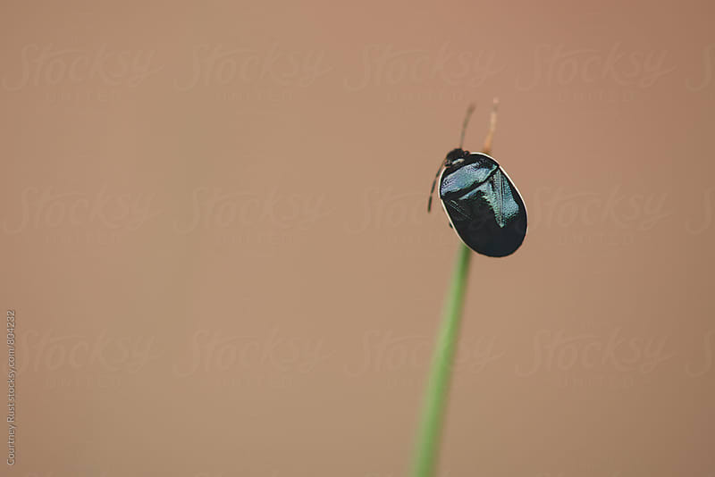 beetle on a blade of grass by Courtney Rust for Stocksy United