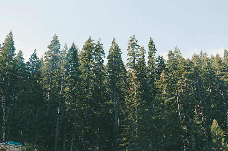 Pine forest Yosemite by Image Supply Co for Stocksy United