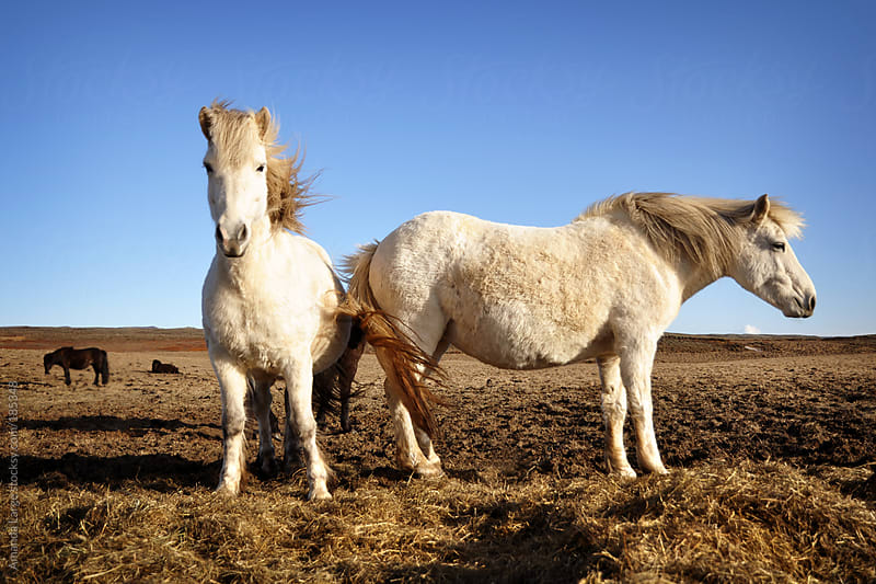 Two white Icelandic horses standing in a field. by Amanda Large for Stocksy United