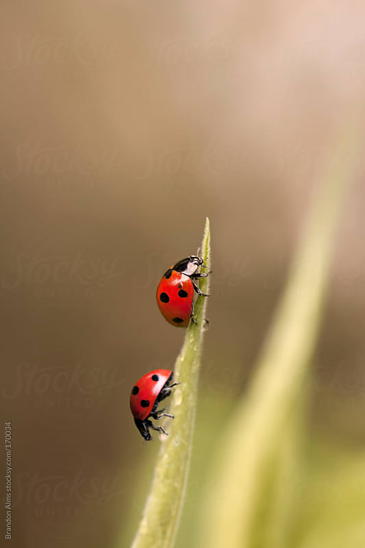 Ladybugs Crawling on a Blade of Grass by Brandon Alms for Stocksy United