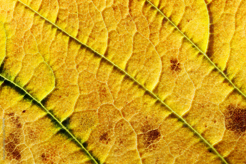 yellow autumn leaf macro by Marcel for Stocksy United