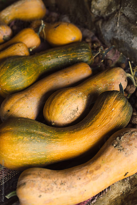 Just picked butternut squash by Pixel Stories for Stocksy United