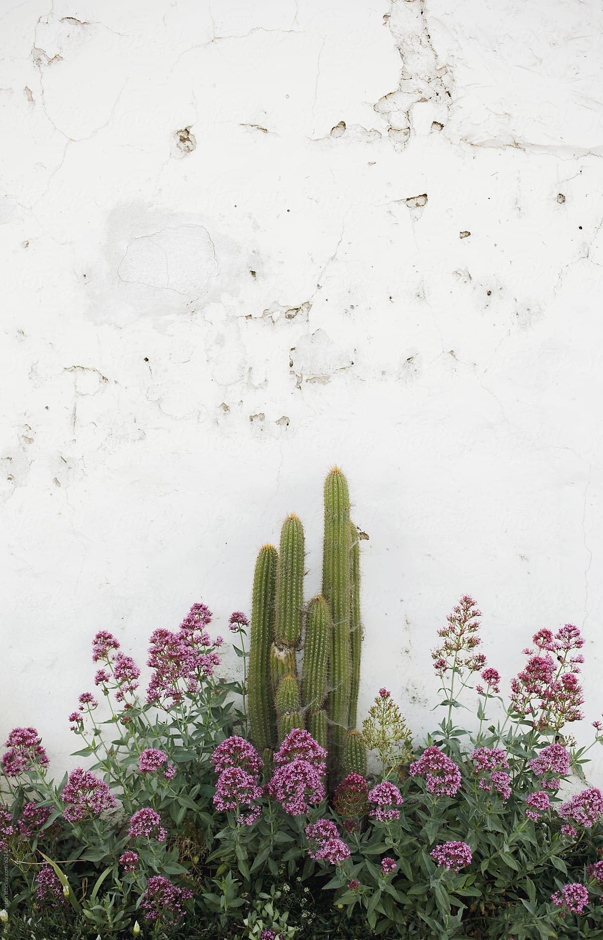 Cactus and pink flowers on white adobe wall stocksy united cactus and pink flowers on white adobe wall by amy covington for stocksy united mightylinksfo