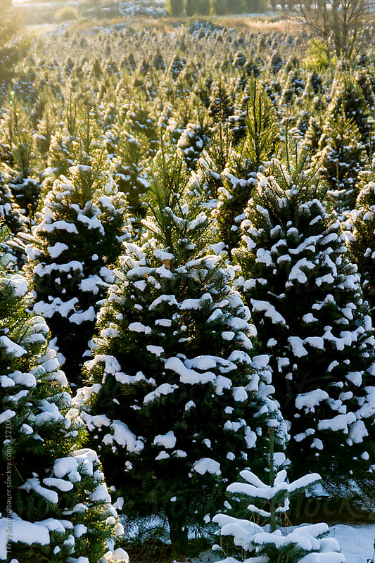 Christmas Tree Farm in Pacific Northwest by Terry Schmidbauer for Stocksy United