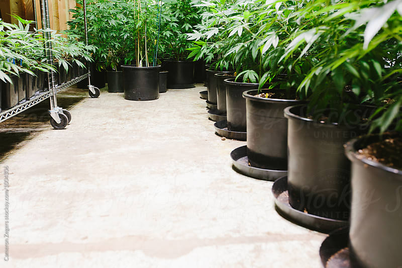 potted marijuana plants at pot farm by Cameron Zegers for Stocksy United