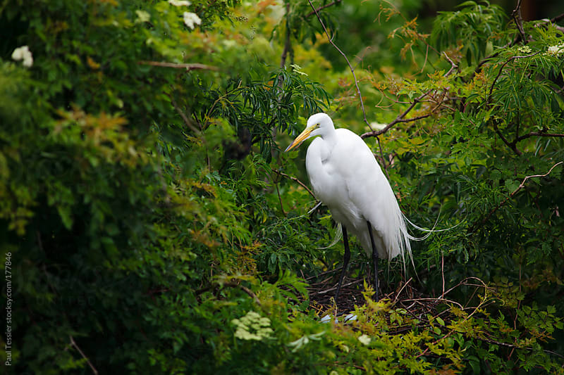 Great Egret at Nest by Paul Tessier for Stocksy United