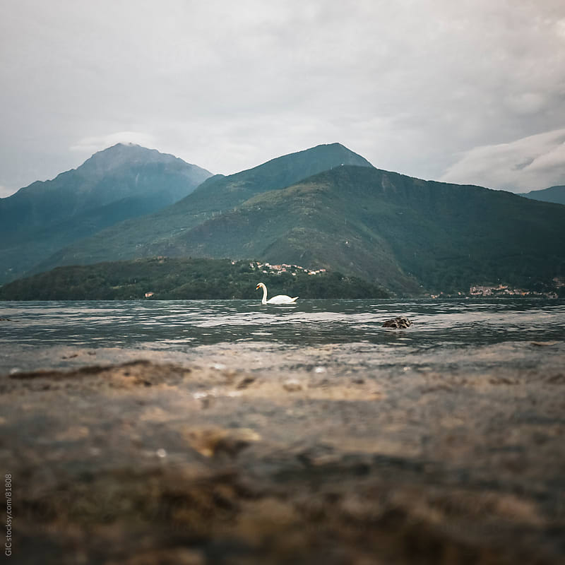 Swan in the lake by GIC for Stocksy United