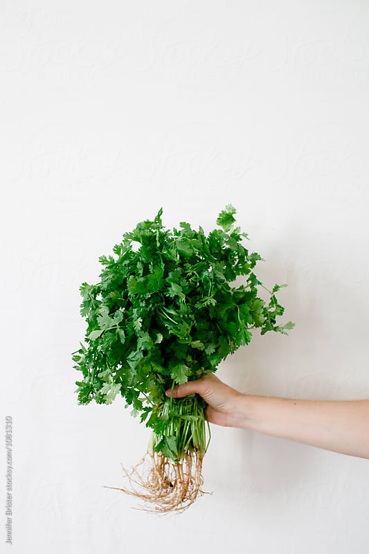 Hand holding bunch of cilantro by Jennifer Brister for Stocksy United