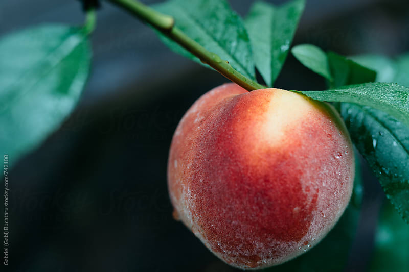 Ripe peach on a tree by Gabriel (Gabi) Bucataru for Stocksy United