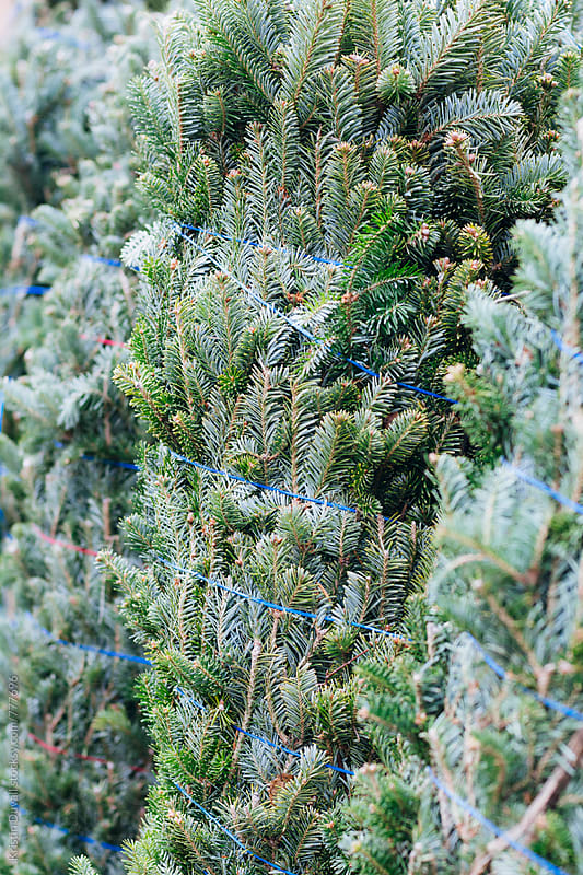 Christmas trees at market.  by Kristin Duvall for Stocksy United