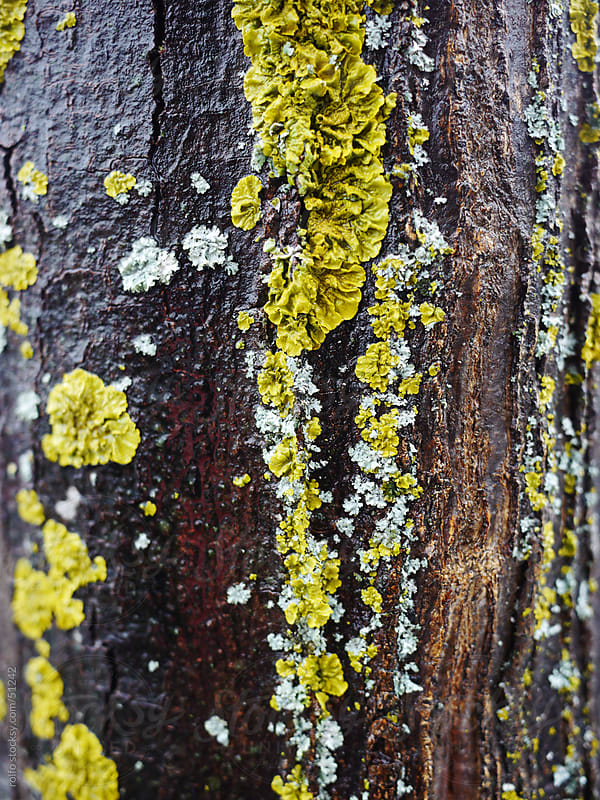 moss tree closeup bark wet by rolfo for Stocksy United