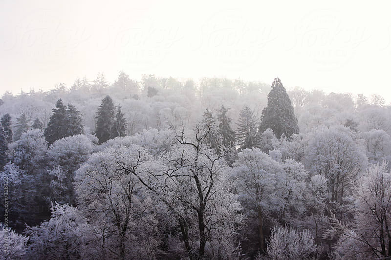 Trees on a hillside covered in frost. by Holly Clark for Stocksy United