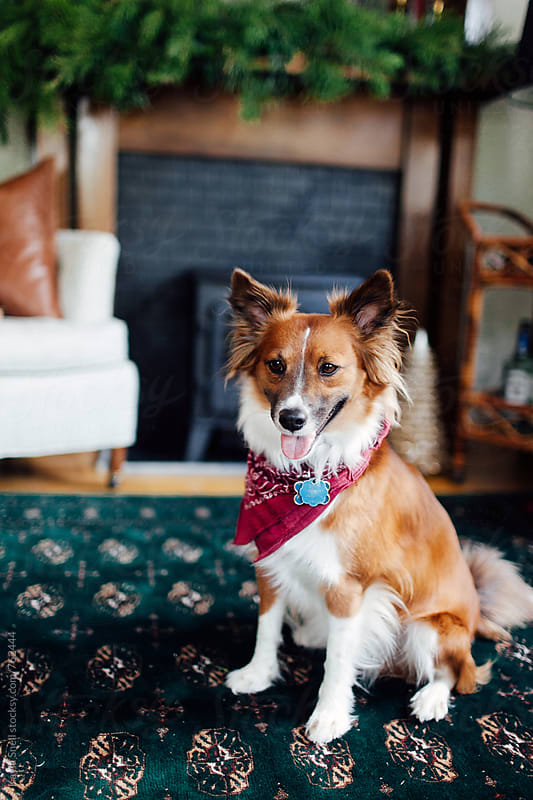 Dog on Christmas by Kayla Snell for Stocksy United
